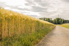 Wheat field by the road under the sun. Delicate care of the wheat field under the cloudy sky. Spring and summer landscape. Yellow and green colorful Stock Photo