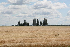 Wheat Field. Row of trees in a wheat field Stock Photos