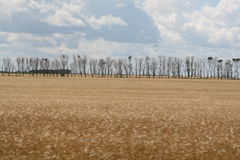 Wheat Field. Row of trees in a wheat field Royalty Free Stock Photos