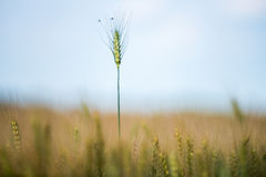 Wheat field. In rural area of Romania Royalty Free Stock Photos