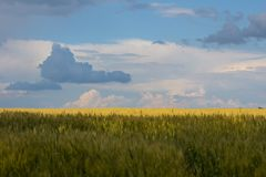 Wheat field. And rural landscapes Stock Photo