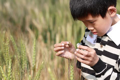 Wheat field's boy. Is to observe the insects stock photo
