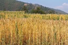 Wheat field in Sanga, Nepal. Golden color of Wheat field along the mountain in Sanga, Nepal, ready to be harvested soon royalty free stock photos