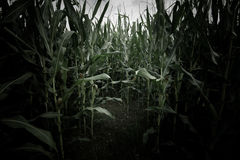 Wheat field scary scene Stock Images