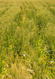 Wheat field scenery Royalty Free Stock Images