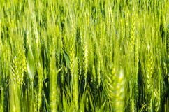 Wheat field. Scenery green crops plant food agriculture royalty free stock photos