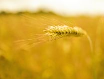 Wheat field (shallow DoF) Stock Photos