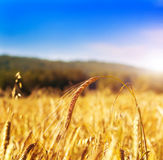 Wheat field, shallow focus Royalty Free Stock Photography