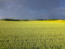Wheat field with sharp light Royalty Free Stock Photography