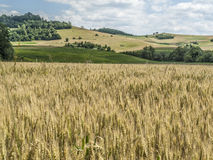 Wheat field. Shoot in full sun, in summer with rolling hills in background Royalty Free Stock Photos