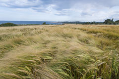 Wheat field on the shore in Ireland. Royalty Free Stock Photography
