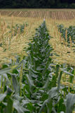 Corn Field. A shot of rows of corn plants in a corn field Royalty Free Stock Photos