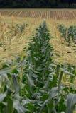 Corn Field Royalty Free Stock Photos