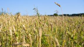 Wheat field in Siberia Royalty Free Stock Photo