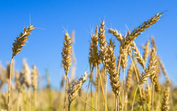Wheat field in Siberia Stock Images
