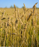 Wheat field in Siberia Royalty Free Stock Photography