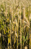 Wheat field in Siberia Stock Image