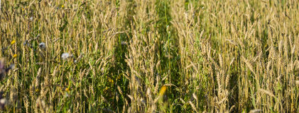 Wheat field in Siberia Royalty Free Stock Images