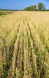Wheat field in Siberia Stock Photos