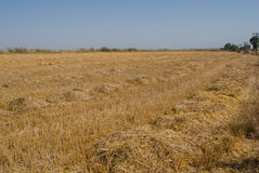 Wheat field. A simple yellow pattern of some wheat field landscape royalty free stock photography