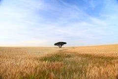 Wheat field and single tree Stock Photo