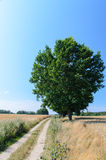 Wheat field with single tree and road Stock Image