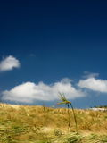 Wheat field sky. Wind blowing across a wheat field with blue sky and clouds stock photography