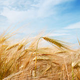 Wheat field and  sky Stock Photos