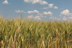Wheat field and sky four Royalty Free Stock Photos