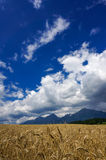 Wheat field and sky Stock Image