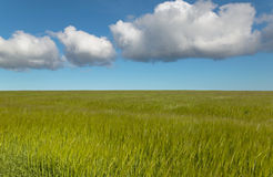 Wheat field with sky in Orkney. Scotland. UK Royalty Free Stock Image