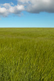 Wheat field with sky in Orkney. Scotland. UK Stock Photo