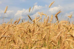 Wheat field and sky seven Royalty Free Stock Image