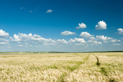 Wheat field and sky summer landscape Royalty Free Stock Image