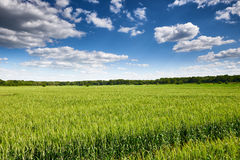 Wheat field and sky summer landscape Stock Photography