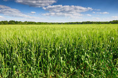 Wheat field and sky summer landscape Royalty Free Stock Photo