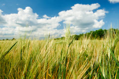 Wheat field and sky summer landscape Stock Image