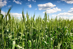 Wheat field and sky summer landscape Royalty Free Stock Photos
