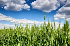 Wheat field and sky summer landscape Stock Images