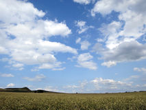 Wheat field and sky. Wheat field under a blue sky with scattered clouds Royalty Free Stock Photography