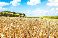 Wheat field and sky with white clouds. Wheat field and sky with  clouds Stock Photos