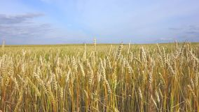 Wheat field and sky stock footage