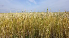 Wheat field and sky stock video footage