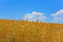 Wheat field on a slope Royalty Free Stock Photography