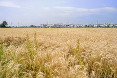 Wheat field before small village in sunny summer afternoon Royalty Free Stock Photography