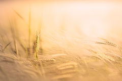 Wheat in a field Stock Photos