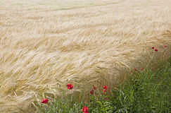 The Wheat Field Royalty Free Stock Photo