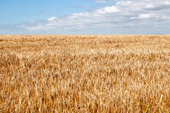 WHeat Field, South West Coastal Path, Dorset, UK. The South West Coastal Path, Dorset. Part of The Jurassic Coastline of England. View back across wheat crop Royalty Free Stock Photo