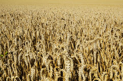 Wheat field spike royalty free stock photography