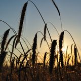 Wheat field with spike silhouettes at sunset Stock Image